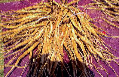 Ashwagandha | Tattva's Herbs Blog