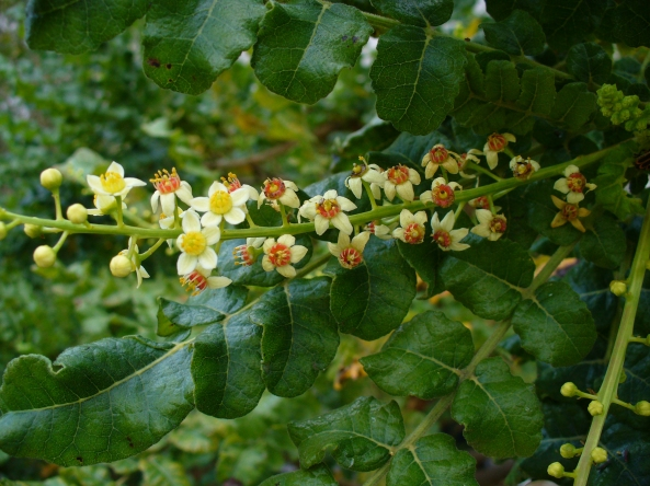 Boswellia Tree