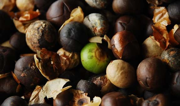 Capomo (Maya Nut) Seeds used to prepare superfood drink