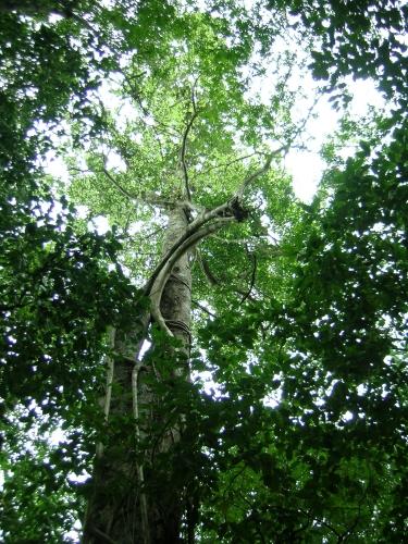 Capomo - Maya Nut Tree
