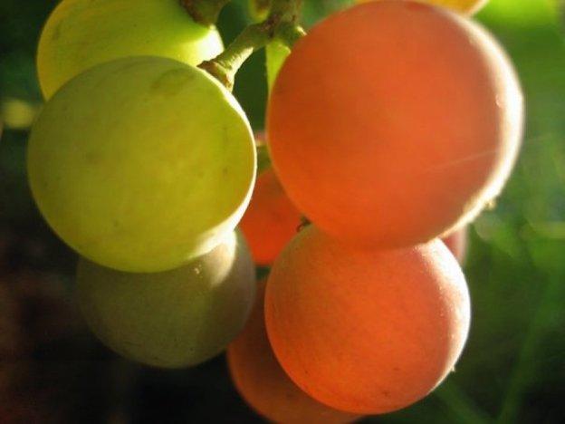 sun grapes